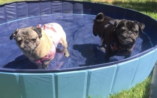 Bella and Lenny the pugs go swimming