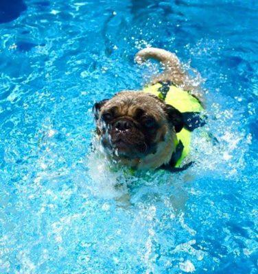 Canine MegaEsophagus Pug