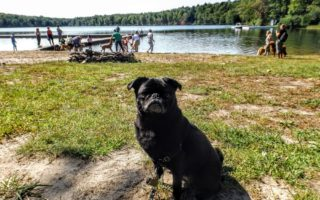 Pixel the pug at the lake