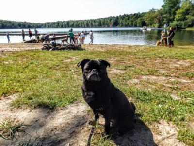 Pixel the pug at the lake