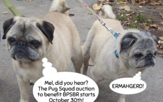 Buffalo Pug and Small Breed Rescue