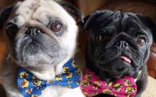 Pug Squad Fundraiser