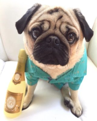 Milo the pug pawties with bubbly