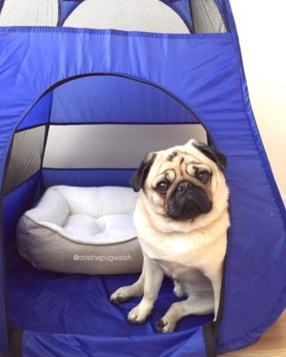 Otis the pug is ready for Pug Camp