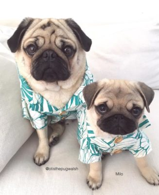 Otis and Milo, pug fashionistas