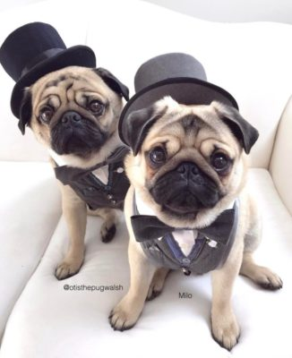 Interview with Otis and Milo, pawty pugs
