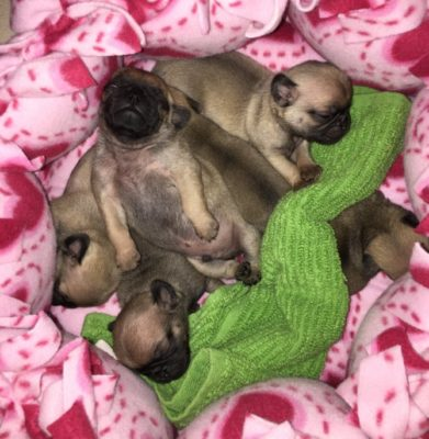 Featured Rescue: MOPS Pug Rescue