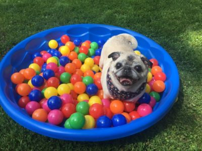 Pug Camp ball pit party